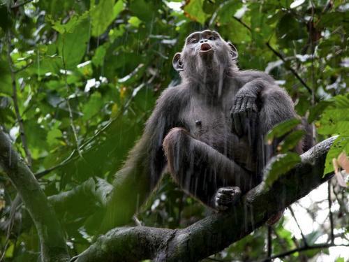 chimp-call_11999_990x742
